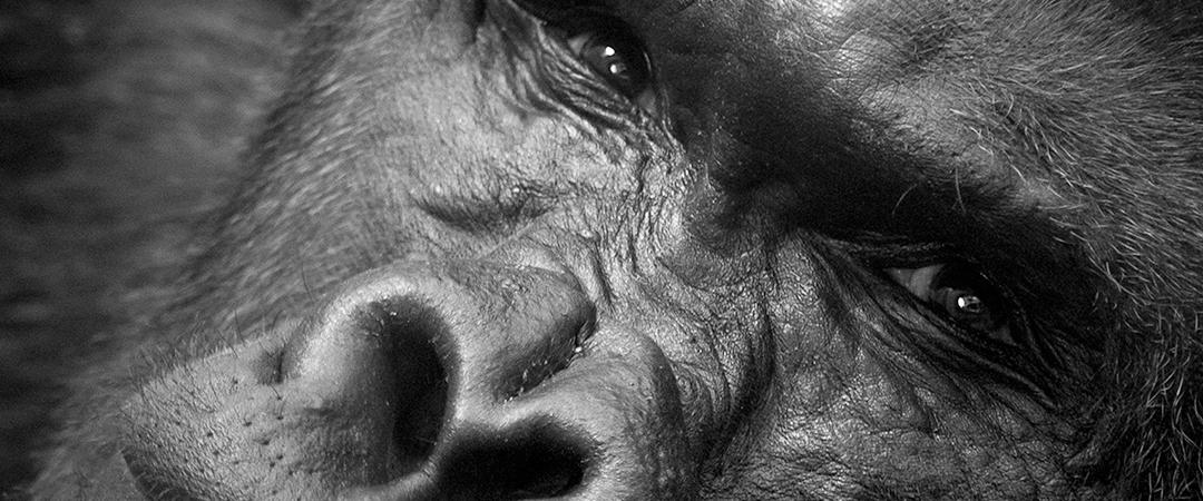 gorillafeature