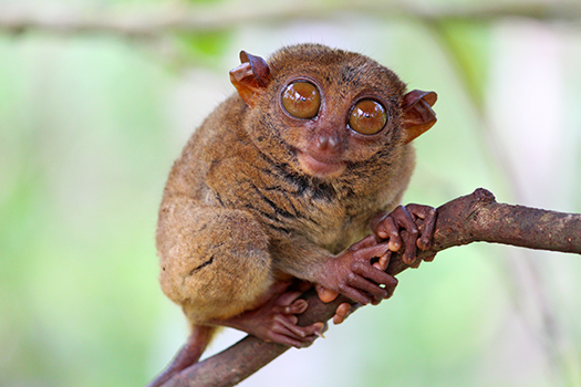 tarsier on branch