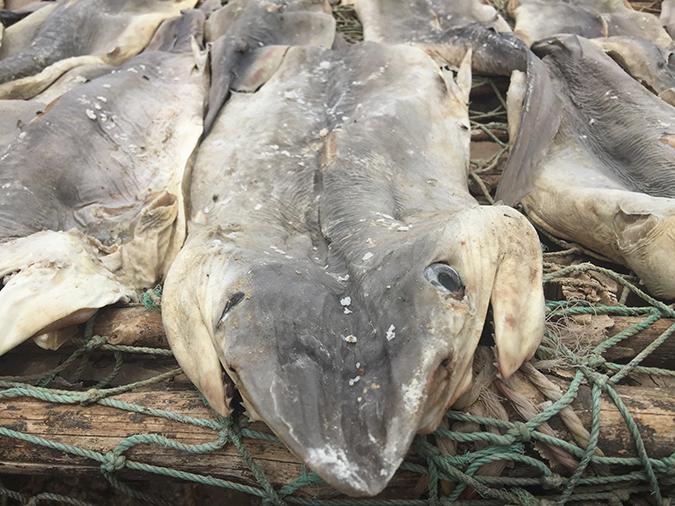commercial shark fishing cap skirring senegal