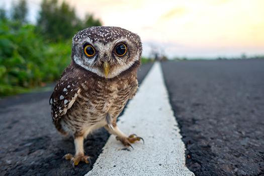 eagle owl shutterstock