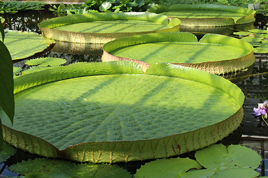 giant lily pads shutterstock