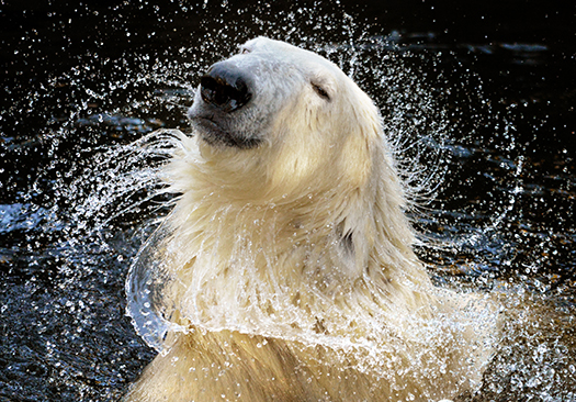 polar bear shutterstock