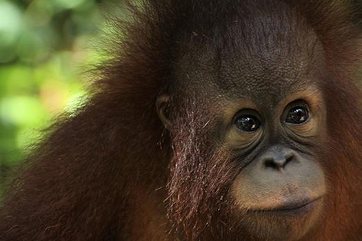 baby orangutan shutterstock