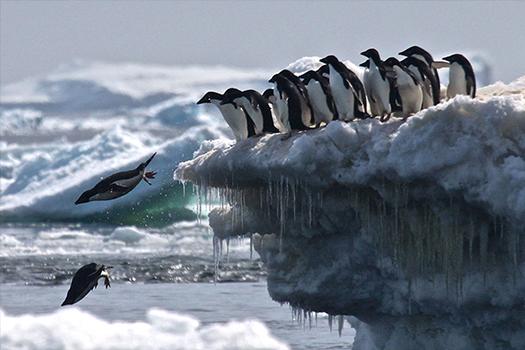 adelie penguins photographer rachel herman