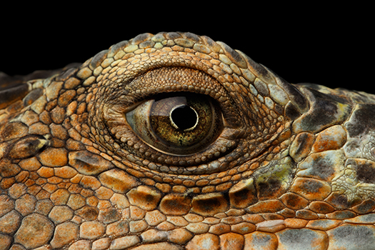 closeup green iguana eye shutterstoc