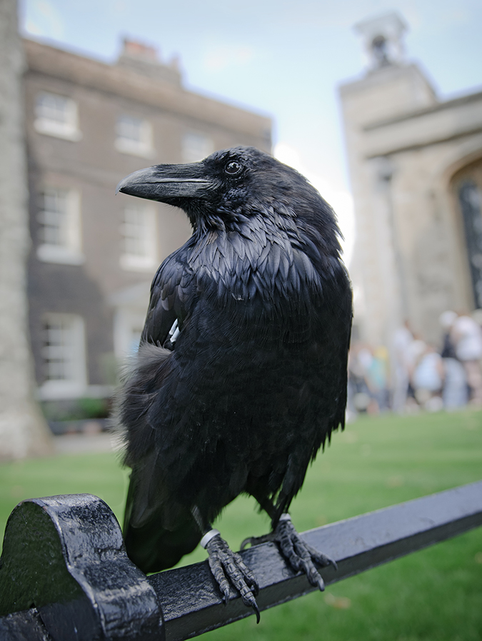 black raven tower of london embed shutterstock