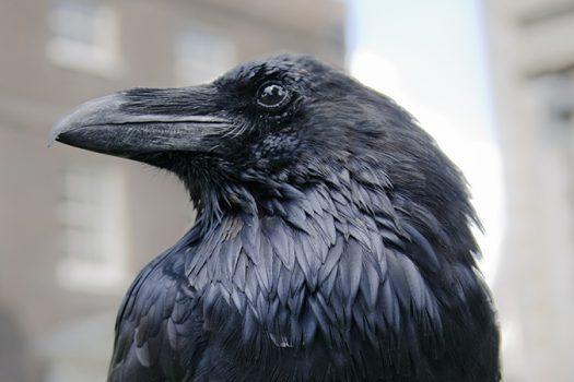 black raven tower of london shutterstock