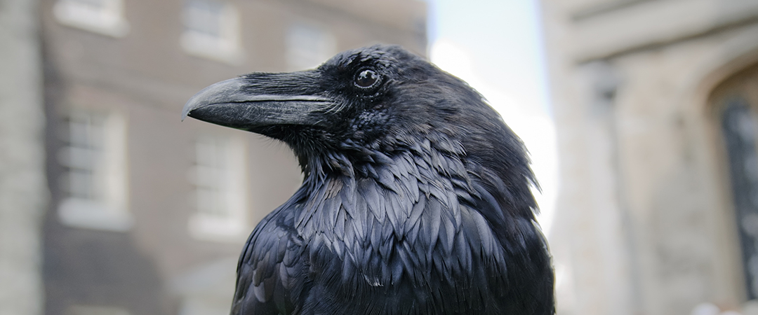 black raven tower of london shutterstock