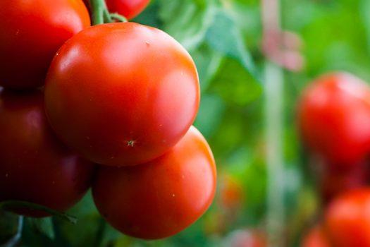 tomatoes shutterstock