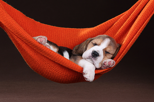 sleeping beagle shutterstock