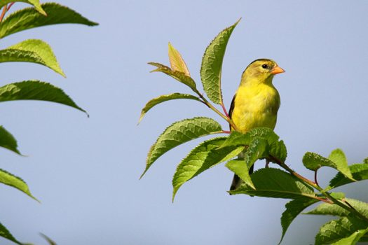goldfinch shutterstock feature