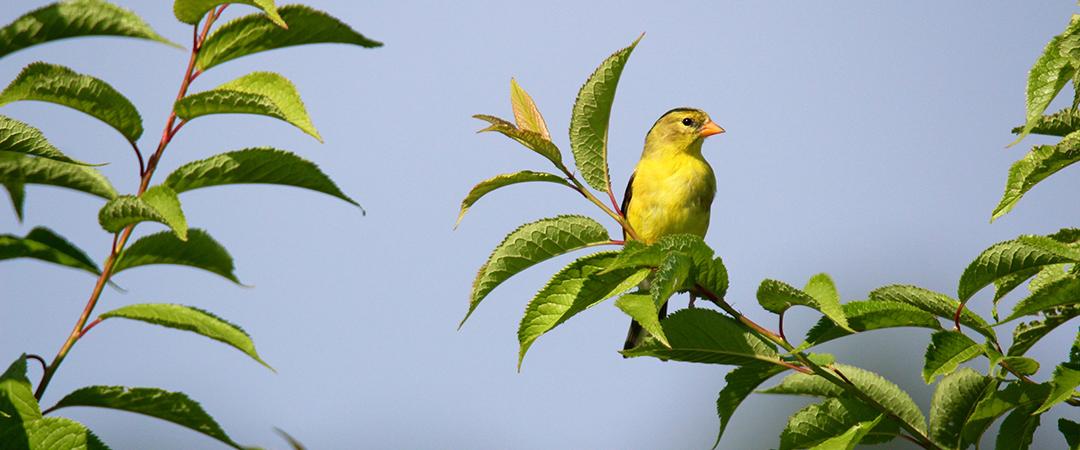 goldfinch shutterstock feature