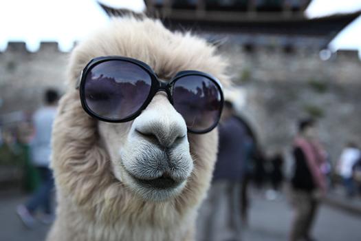 alpaca sunglasses shutterstock