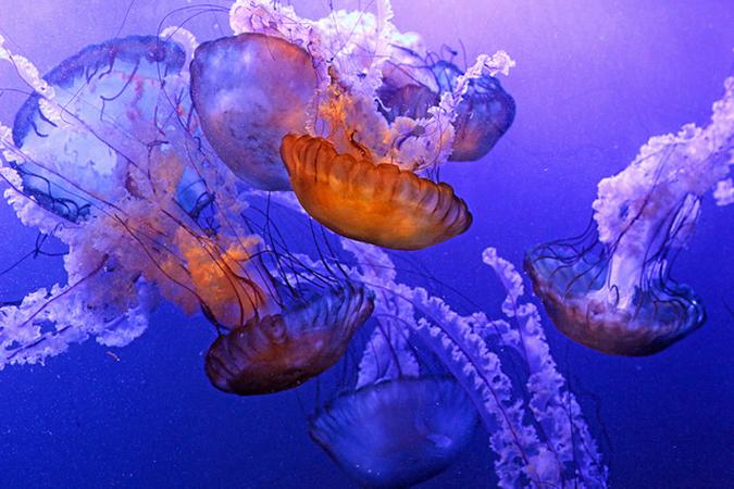 jellyfish the maritime aquarium