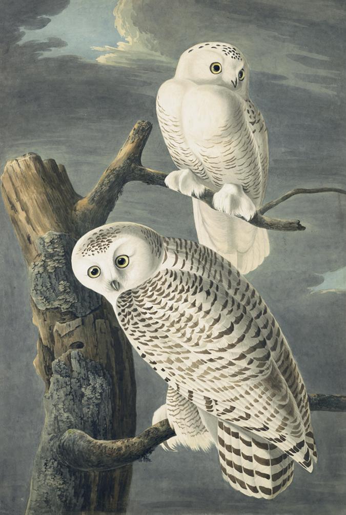 N-YHS Oppenheimer Editions AWC Plate 121 Snowy Owl