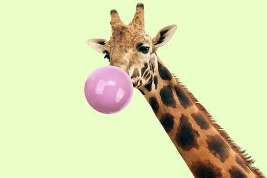 giraffe with bubble gum - Linda Staf - shutterstock