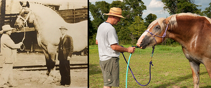 Brooklyn Supreme - Draft Horse Comparison - Composite - Postcard with Sari ONeal - Shutterstock