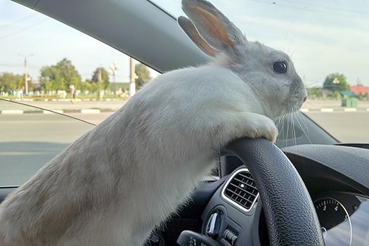 driving bunny - Dmitry Dven - shutterstock