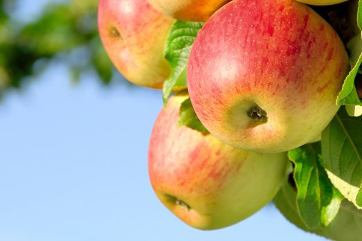 apple tree - Smileus - Shutterstock