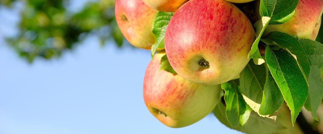 apple tree - Smileus - Shutterstock