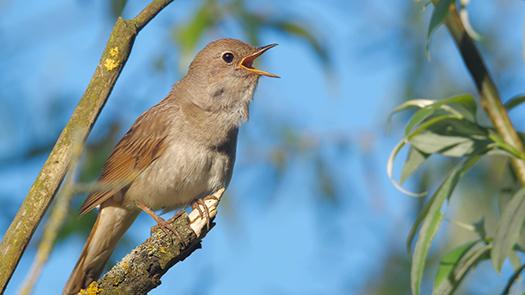 thrush nightingale - Wildlife World - Shutterstock