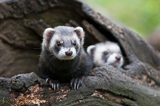 Two Polecats - Maurice Volmeyer - Shutterstock