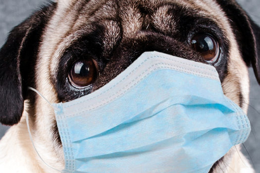 pug in quarantine mask - photo by Anna Cinaroglu - Shutterstock - feature