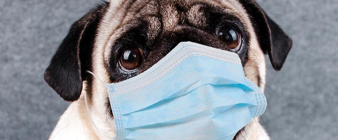 pug in quarantine mask - photo by Anna Cinaroglu - Shutterstock - feature