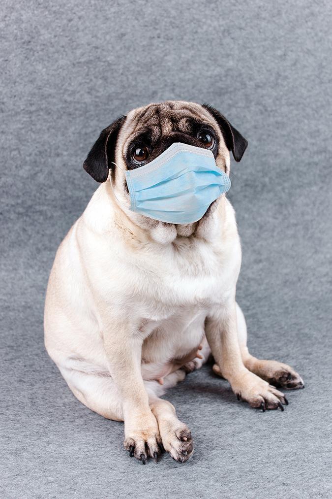 pug quarantine mask - Anna Cinaroglu - Shutterstock - embed